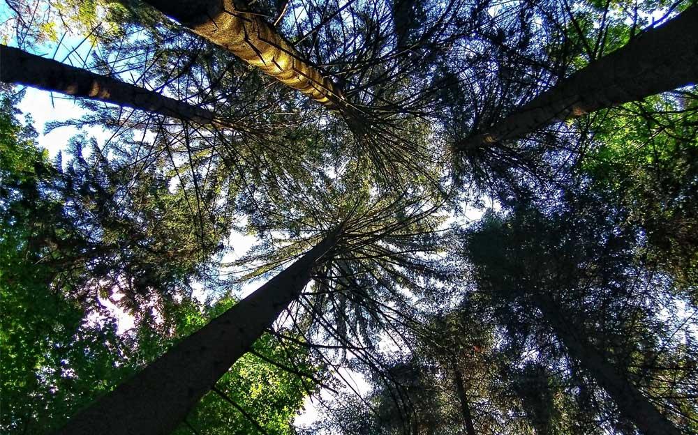 Hohe Tannen von unten nach oben zu den Wipfeln und zum Himmel fotografiert