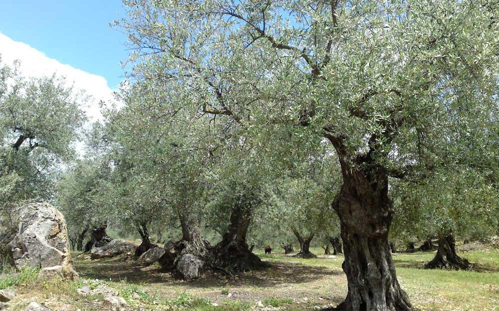 Vorderster Baum in einer Reihe kleinwüchsiger Bäume. Im Hintergrund weitere Baumreihen.