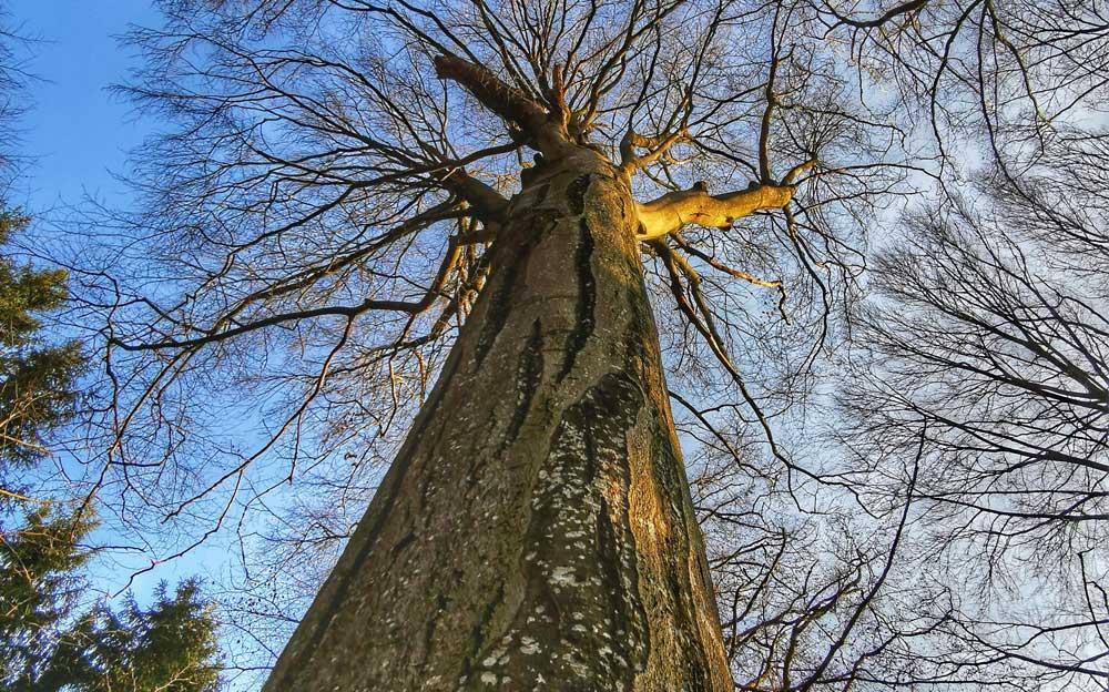 Grosser, mächtiger Baum. Blick von unten dem Stamm entlang zum Wipfel. Der Baum hat nur oben ein paar Äste, die nicht viele Blätter tragen und den Blick auf den blauen Himmel freigeben.