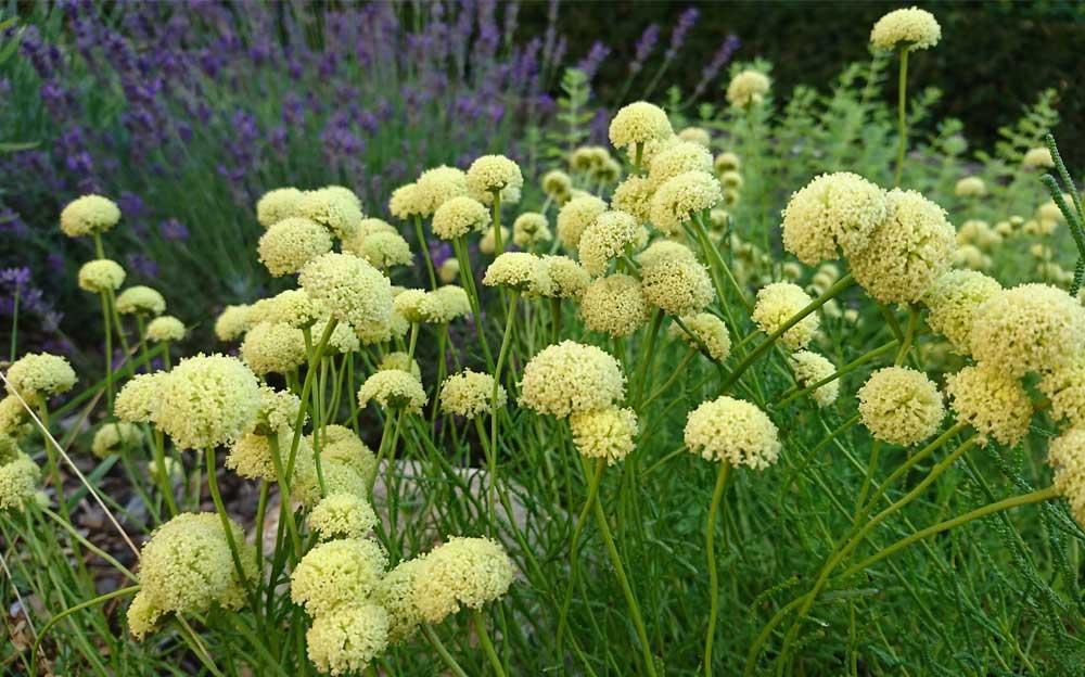 Makroaufnahme von Olivenkraut im Garten der Energietherapeutin Manuela Krah. Im Hintergrund verschwommen Lavendel.
