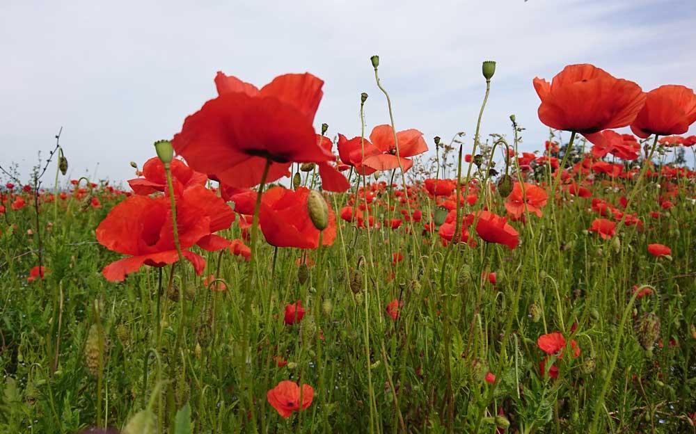 Blumenfeld mit rotem Mohn.
