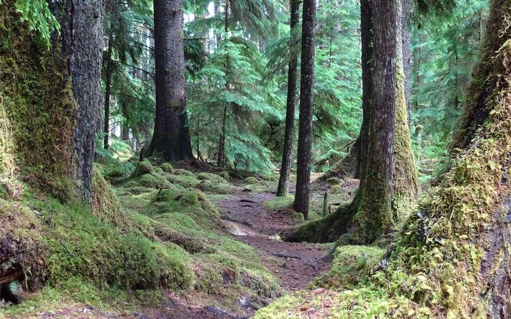 Wald mit stark vermoosten, kräftigen Bäumen. Zwischen den Bäumen schlängelt sich ein kleiner, stark verwurzelter Waldweg.
