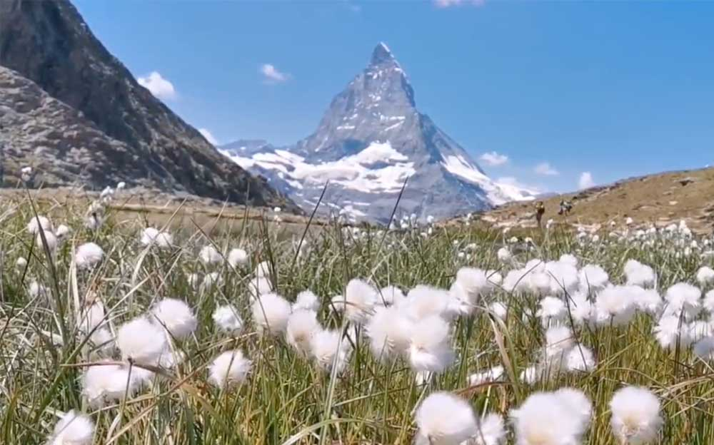 Pusteblumen auf einer Grünen Wiese. Im Hintergrund ist das Matterhorn unter blauem Himmel zu sehen