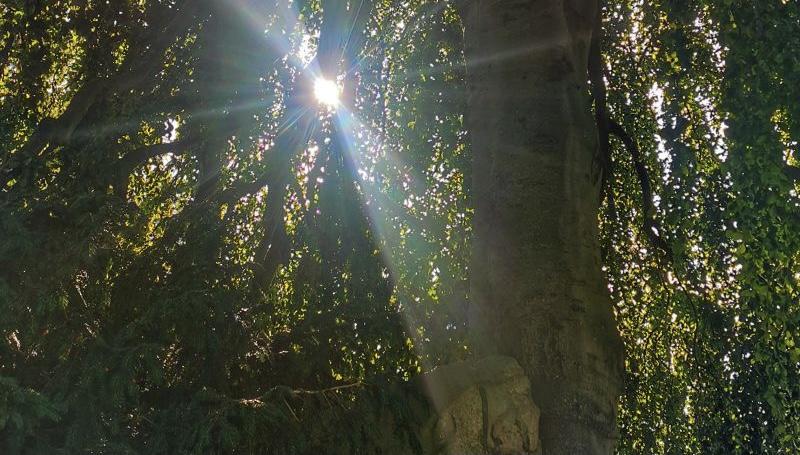 Durch die Blätter eines grossen Baumes strahlt die Sonne.